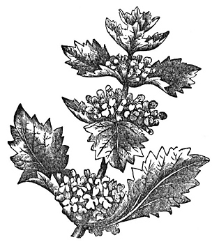 Horehound Root